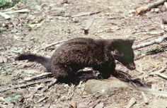 The Asia Palm Civet  attr: animaldiversity.ummz.umich.edu